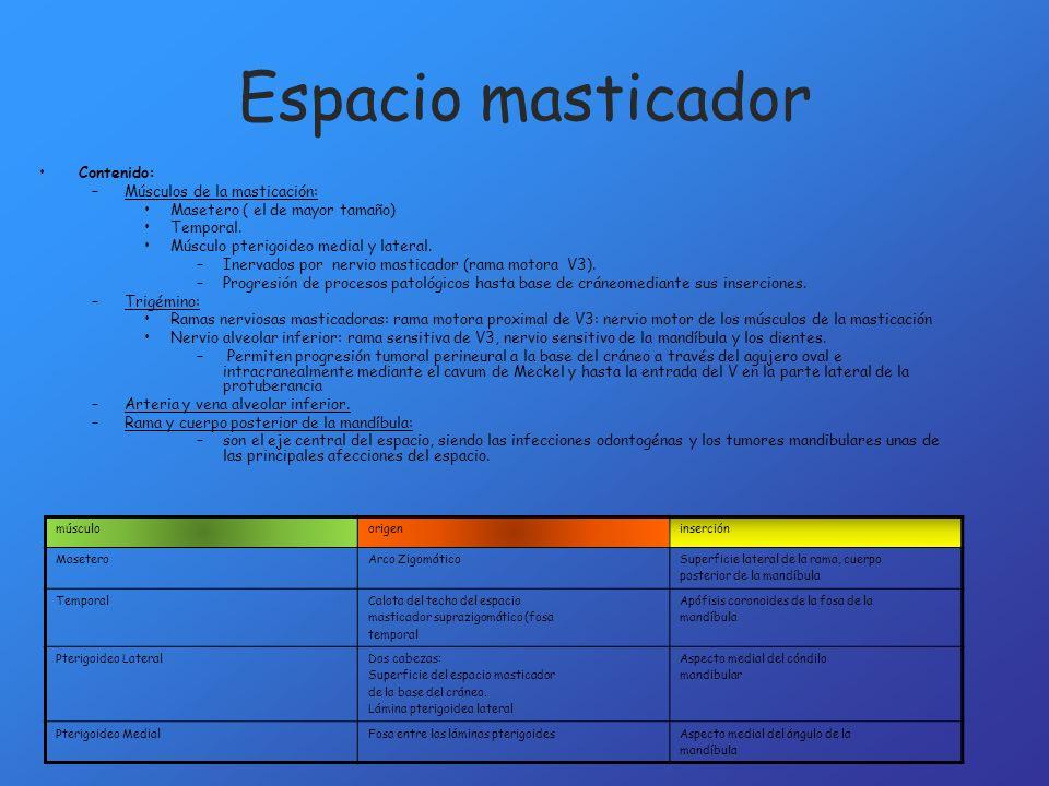 Contenido: –Músculos de la masticación: Masetero ( el de mayor tamaño) Temporal. Músculo pterigoideo medial y lateral. –Inervados por nervio masticado