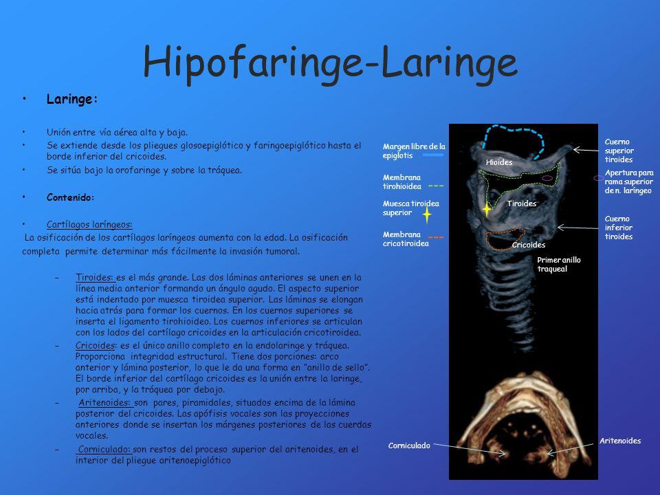 Hipofaringe-Laringe Laringe: Unión entre vía aérea alta y baja. Se extiende desde los pliegues glosoepiglótico y faringoepiglótico hasta el borde infe