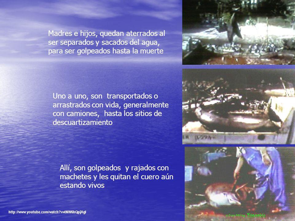 Por ejemplo, cada invierno, entre octubre y marzo, miles de delfines son encerrados en redes de cerco y brutalmente asesinados en pequeños pueblos de Japón Los pescadores, con picos y lanzas hieren entonces algunos de los delfines cautivos, para aprovechar que los delfines, como otros cetáceos mayores, nunca abandonan a los familiares heridos Una vez atrapados entre las redes, los delfines desorientados, entran en pánico http://www.youtube.com/watch v=tNW6hQpjAgI a Free PPS by V it ano ble
