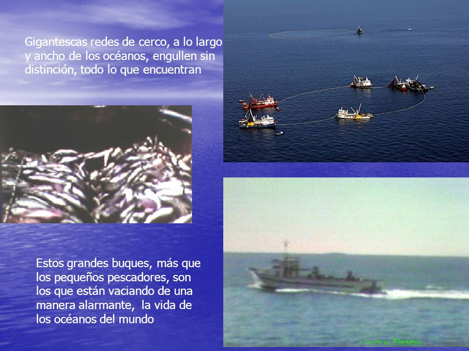 Los grandes pescadores comerciales, intensifican la desvastación de los océanos Emplean buques factorías del tamaño de campos de fútbol equipados con