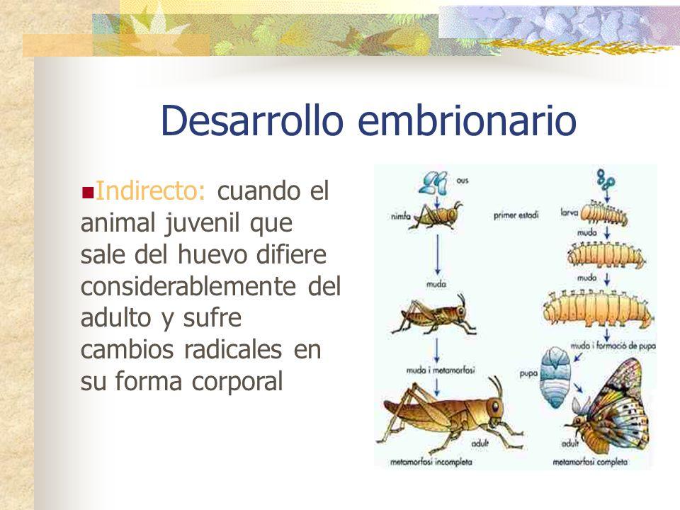 Desarrollo embrionario Directo: cuando las especies no presentan estados larvarios y las crías son como adultos en miniaturas, ocurre en: mamíferos, a