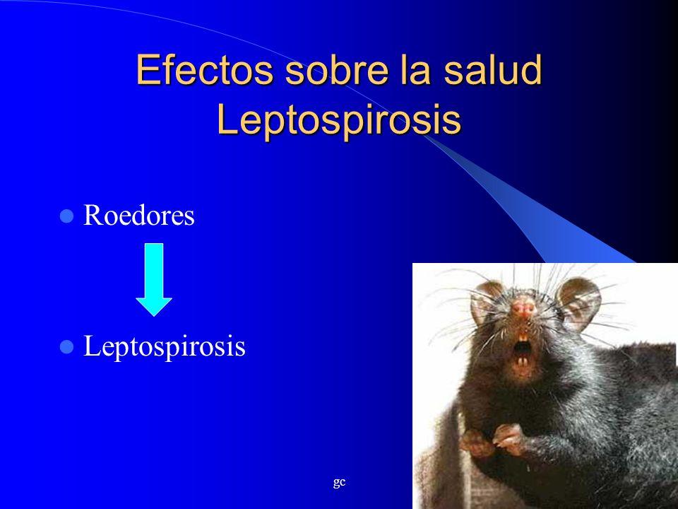 gc Efectos sobre la salud Leptospirosis Roedores Leptospirosis