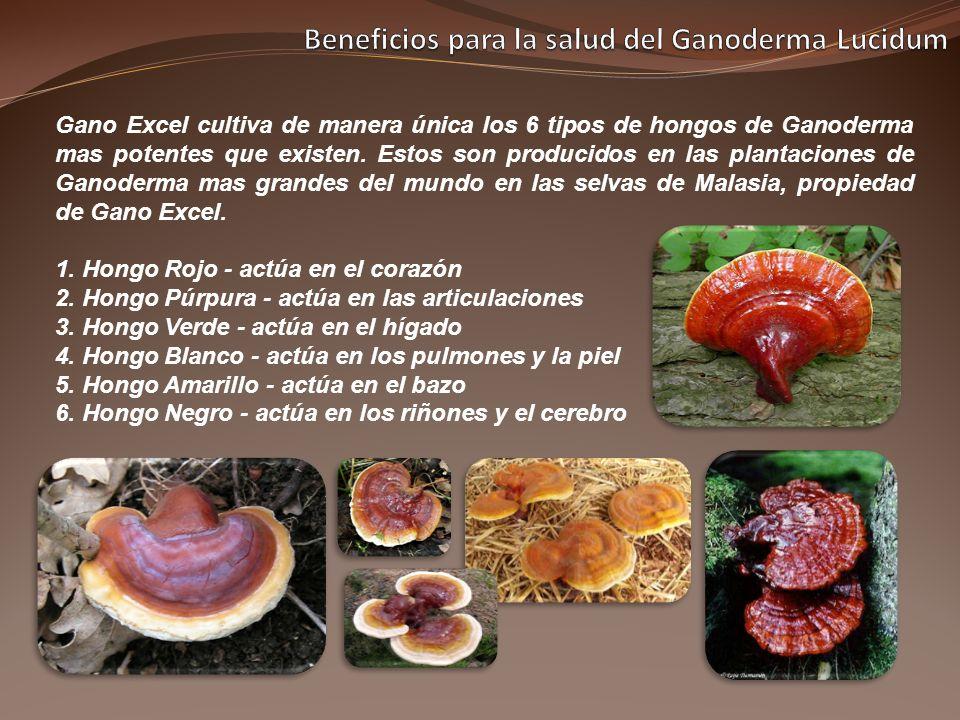 Gano Excel cultiva de manera única los 6 tipos de hongos de Ganoderma mas potentes que existen. Estos son producidos en las plantaciones de Ganoderma