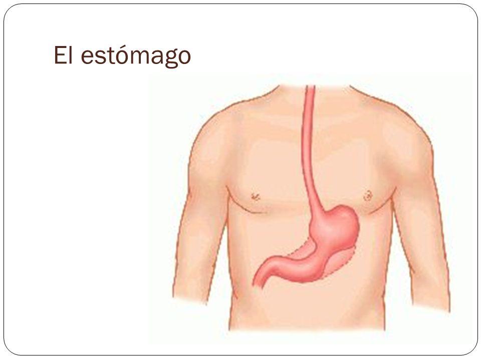 El estómago