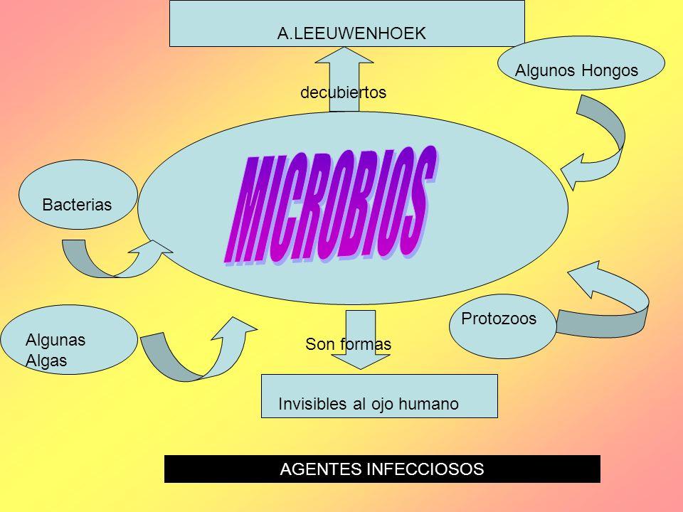 A.LEEUWENHOEK decubiertos Invisibles al ojo humano Son formas Bacterias Protozoos Algunos Hongos Algunas Algas AGENTES INFECCIOSOS
