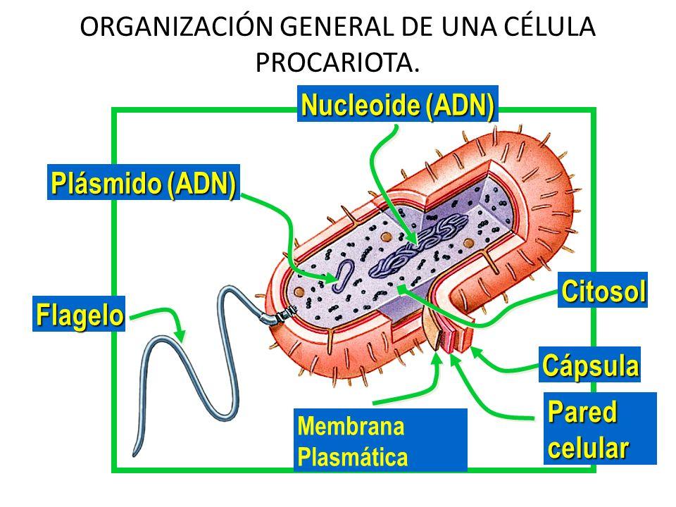 ORGANIZACIÓN GENERAL DE UNA CÉLULA PROCARIOTA. Cápsula Pared celular Membrana Plasmática Citosol Nucleoide (ADN) Flagelo Plásmido (ADN)