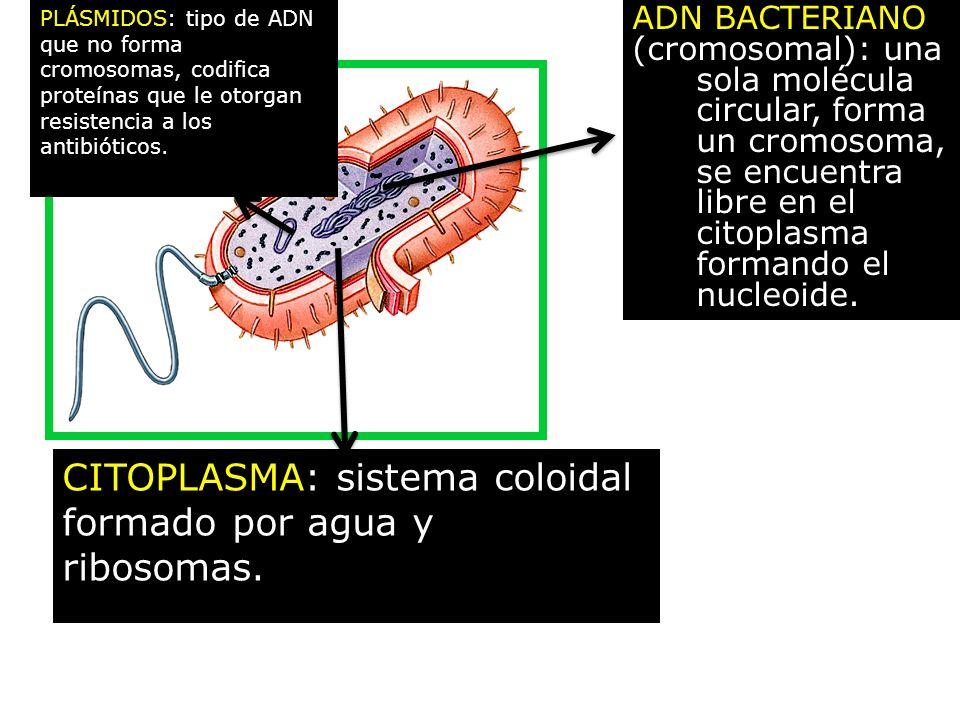 ADN BACTERIANO (cromosomal): una sola molécula circular, forma un cromosoma, se encuentra libre en el citoplasma formando el nucleoide. CITOPLASMA: si