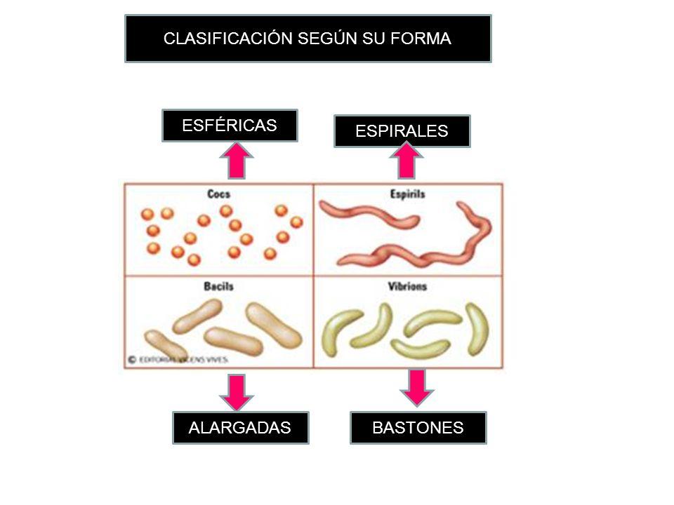 CLASIFICACIÓN SEGÚN SU FORMA ALARGADASBASTONES ESPIRALES ESFÉRICAS