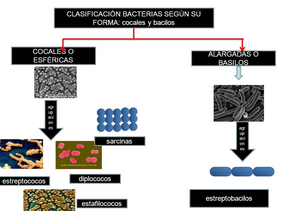 CLASIFICACIÓN BACTERIAS SEGÚN SU FORMA: cocales y bacilos COCALES O ESFÉRICAS estreptobacilos estafilococos ALARGADAS O BASILOS agr up aci on es diplo