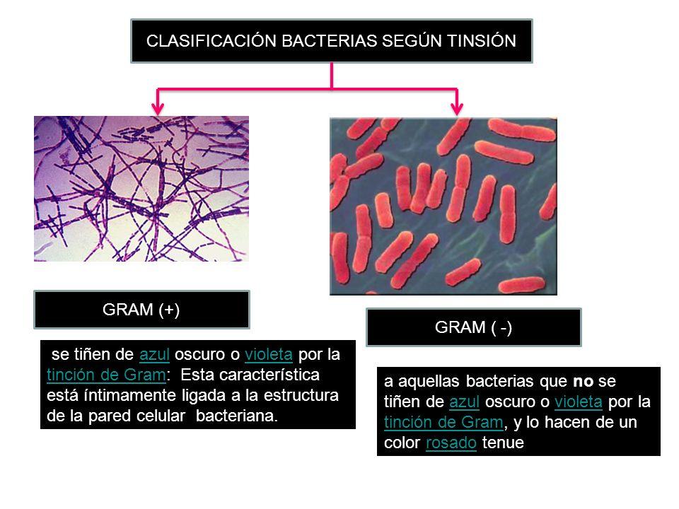 CLASIFICACIÓN BACTERIAS SEGÚN TINSIÓN se tiñen de azul oscuro o violeta por la tinción de Gram: Esta característica está íntimamente ligada a la estru