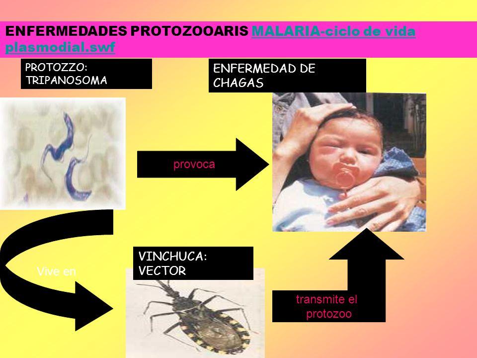 PROTOZZO: TRIPANOSOMA ENFERMEDAD DE CHAGAS VINCHUCA: VECTOR ENFERMEDADES PROTOZOOARIS MALARIA-ciclo de vida plasmodial.swfMALARIA-ciclo de vida plasmo