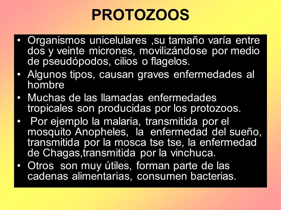 PROTOZOOS Organismos unicelulares,su tamaño varía entre dos y veinte micrones, movilizándose por medio de pseudópodos, cilios o flagelos. Algunos tipo