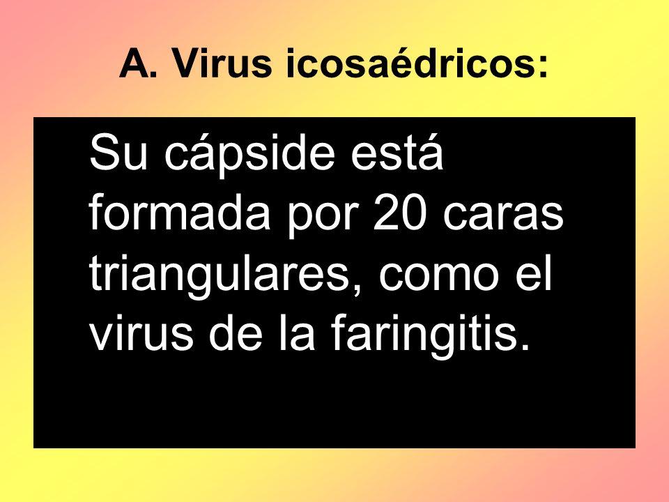 A. Virus icosaédricos: Su cápside está formada por 20 caras triangulares, como el virus de la faringitis.