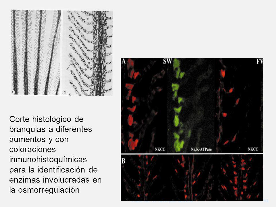 Clase No. 3 / 16 de julio de 2008 10 Corte histológico de branquias a diferentes aumentos y con coloraciones inmunohistoquímicas para la identificació