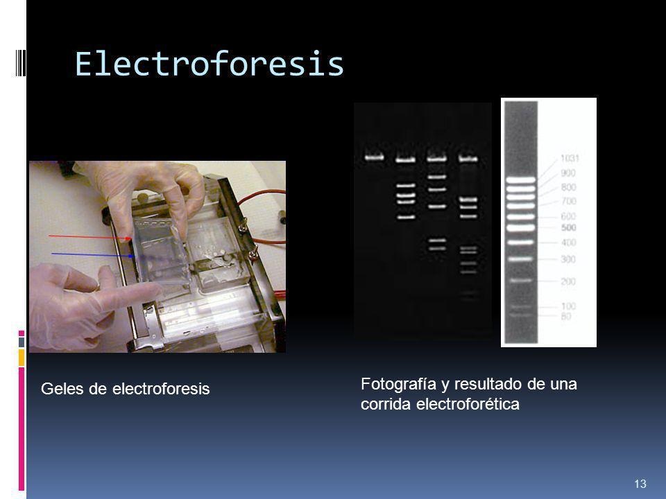 Geles de electroforesis Fotografía y resultado de una corrida electroforética Electroforesis 13