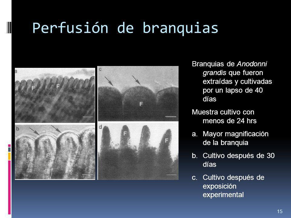Perfusión de branquias 15 Branquias de Anodonni grandis que fueron extraídas y cultivadas por un lapso de 40 días Muestra cultivo con menos de 24 hrs
