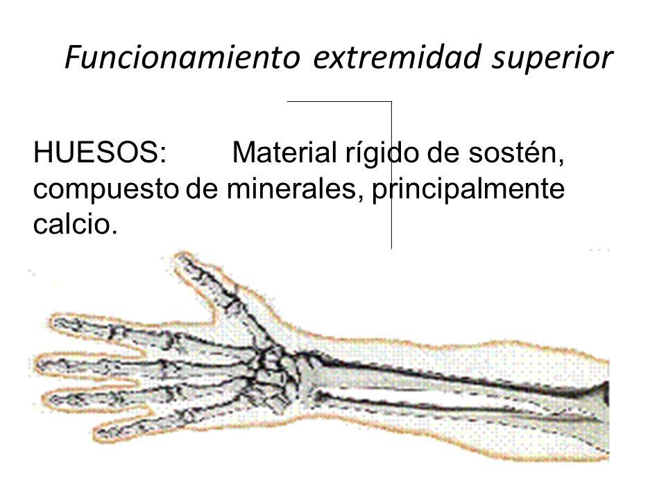 Funcionamiento extremidad superior HUESOS: Material rígido de sostén, compuesto de minerales, principalmente calcio.