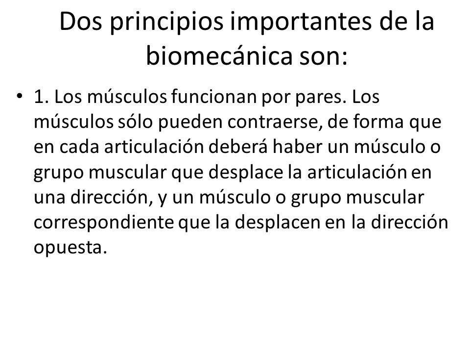 Dos principios importantes de la biomecánica son: 1. Los músculos funcionan por pares. Los músculos sólo pueden contraerse, de forma que en cada artic