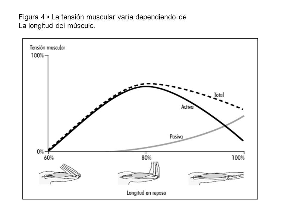 Figura 4 La tensión muscular varía dependiendo de La longitud del músculo.