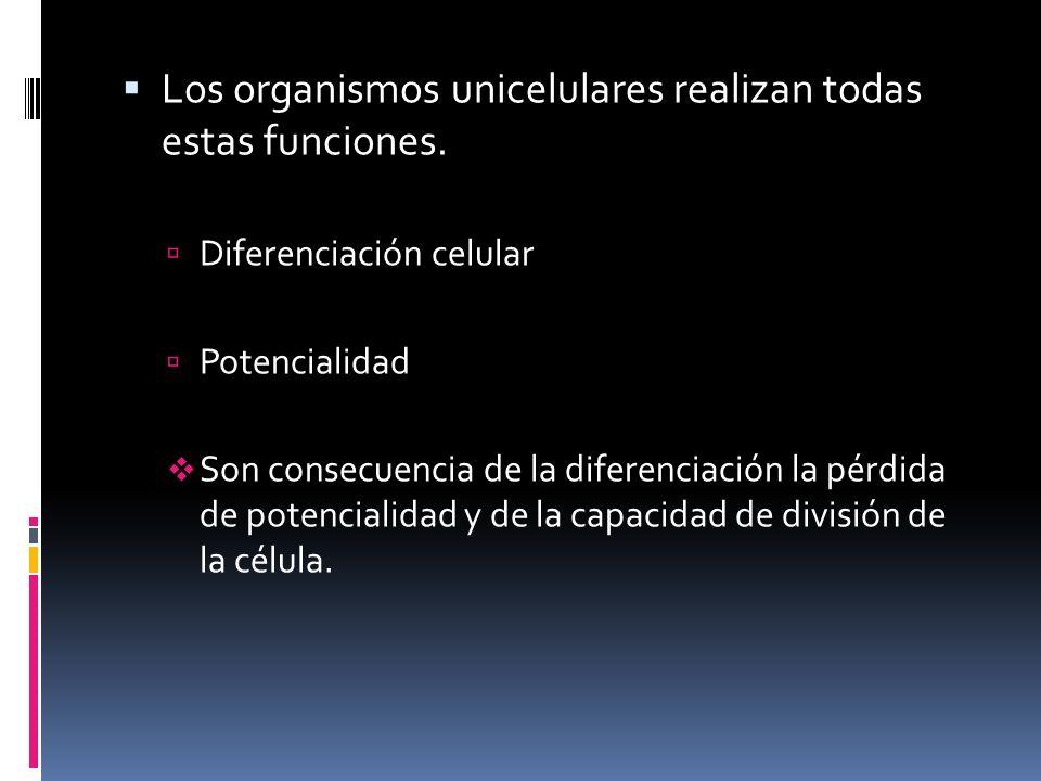 Los organismos unicelulares realizan todas estas funciones. Diferenciación celular Potencialidad Son consecuencia de la diferenciación la pérdida de p