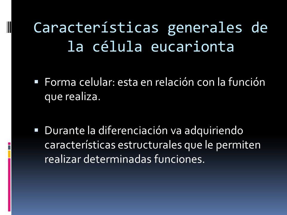 Características generales de la célula eucarionta Forma celular: esta en relación con la función que realiza. Durante la diferenciación va adquiriendo