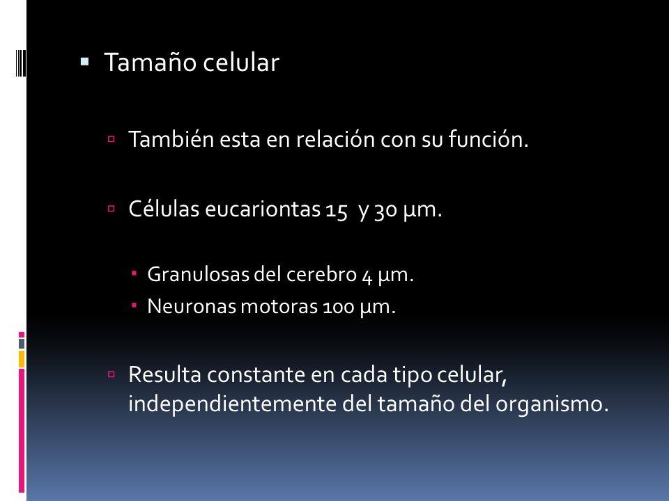 Tamaño celular También esta en relación con su función. Células eucariontas 15 y 30 μm. Granulosas del cerebro 4 μm. Neuronas motoras 100 μm. Resulta