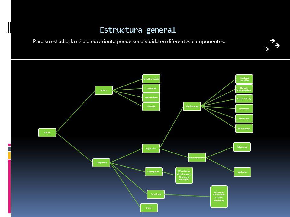 Estructura general Para su estudio, la célula eucarionta puede ser dividida en diferentes componentes. CélulaNúcleoEnvoltura nuclearMatriz nuclearCrom