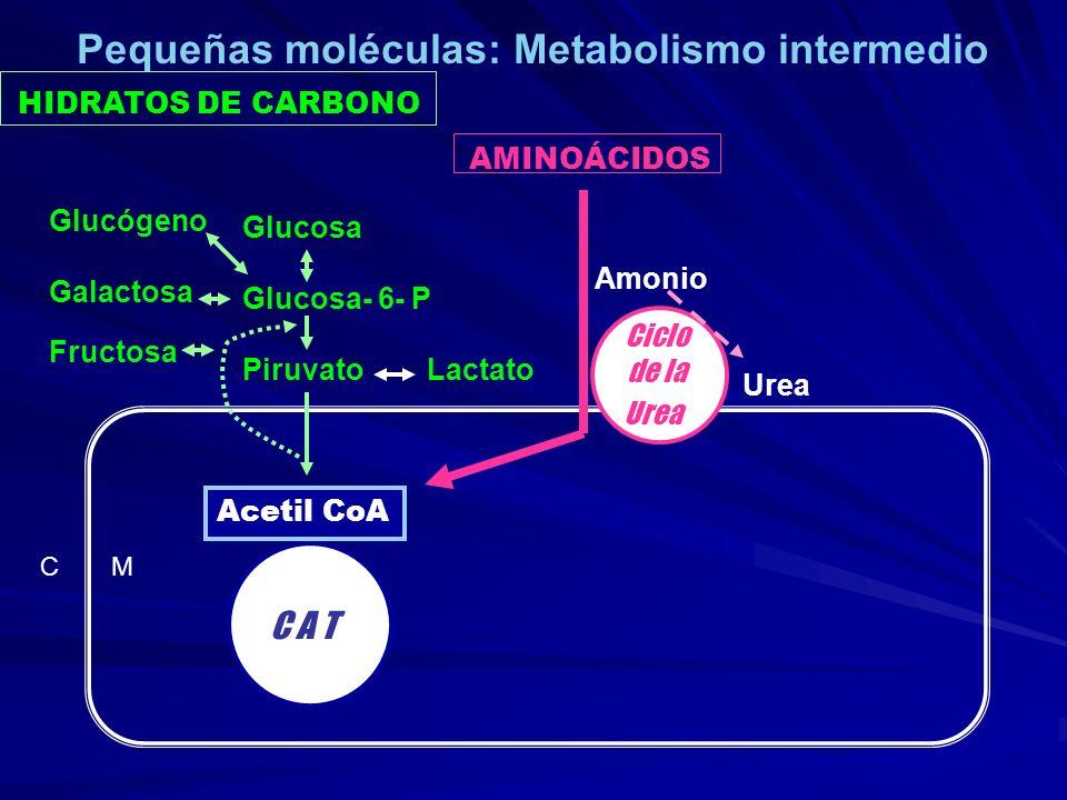 HIDRATOS DE CARBONO AMINOÁCIDOS C M C A T Acetil CoA Glucosa Glucosa- 6- P Piruvato Lactato Glucógeno Galactosa Fructosa Ciclo de la Urea Amonio Urea