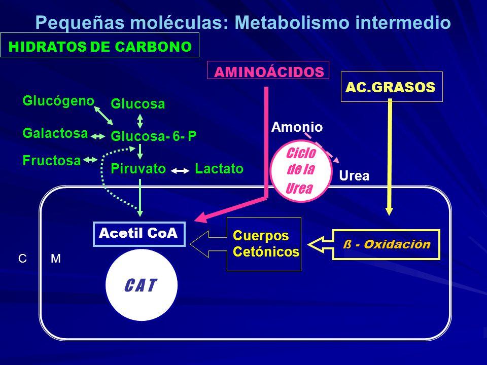 HIDRATOS DE CARBONO AMINOÁCIDOS C M C A T Acetil CoA AC.GRASOS ß - Oxidación Cuerpos Cetónicos Glucosa Glucosa- 6- P Piruvato Lactato Glucógeno Galact
