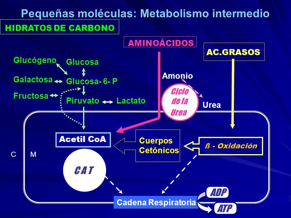HIDRATOS DE CARBONO AMINOÁCIDOS C M C A T Cadena Respiratoria ADP ATP Acetil CoA AC.GRASOS ß - Oxidación Cuerpos Cetónicos Glucosa Glucosa- 6- P Piruv