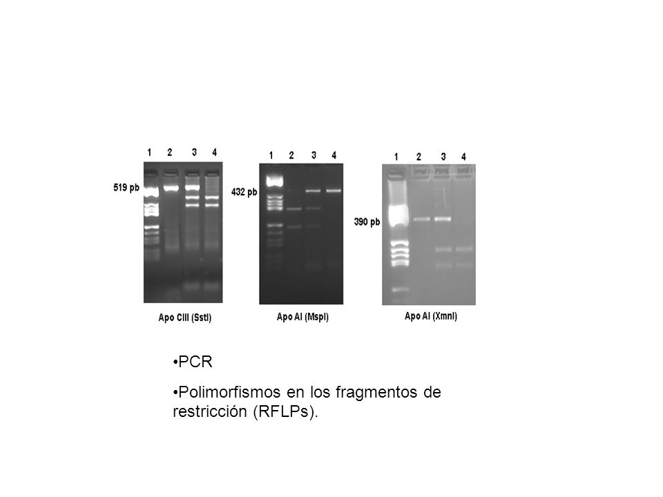 PCR Polimorfismos en los fragmentos de restricción (RFLPs).