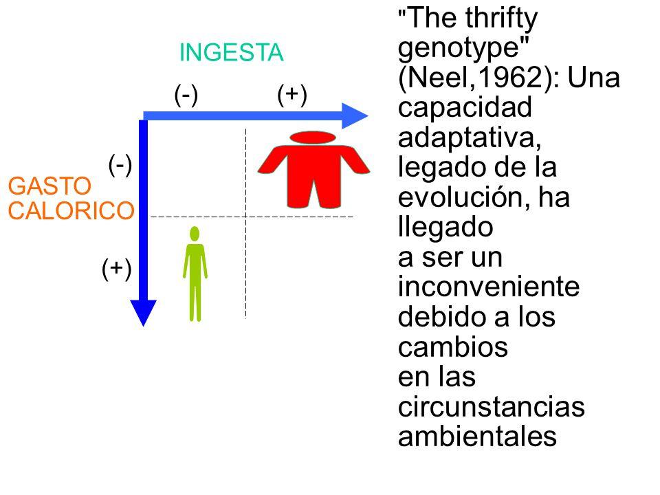 GASTO CALORICO INGESTA (-) (+) (-)(+) The thrifty genotype (Neel,1962): Una capacidad adaptativa, legado de la evolución, ha llegado a ser un inconveniente debido a los cambios en las circunstancias ambientales