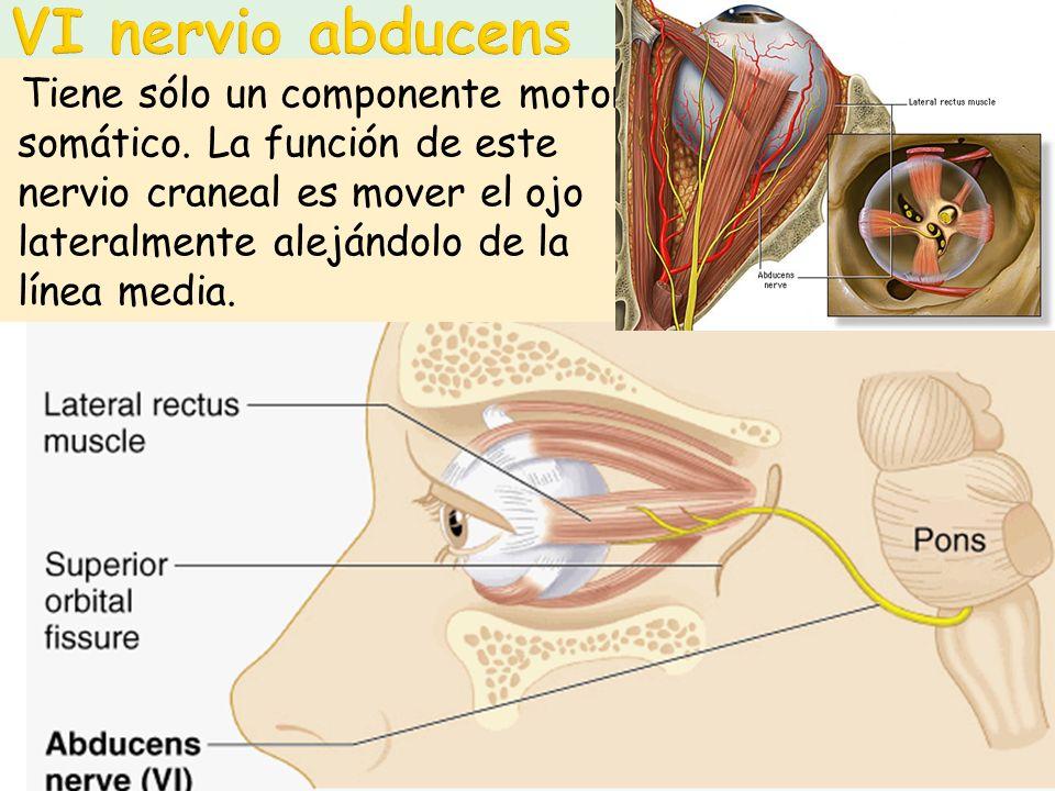 Tiene sólo un componente motor somático. La función de este nervio craneal es mover el ojo lateralmente alejándolo de la línea media.