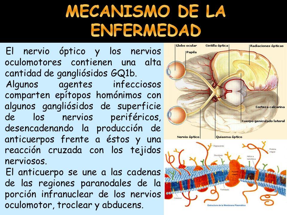 El nervio óptico y los nervios oculomotores contienen una alta cantidad de gangliósidos GQ1b. Algunos agentes infecciosos comparten epítopos homónimos