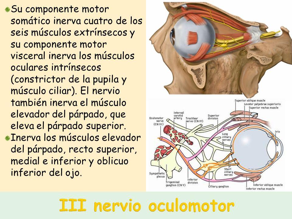 El más pequeño de los nervios craneales, inerva sólo un músculo en la orbita: el músculo oblicuo superior.