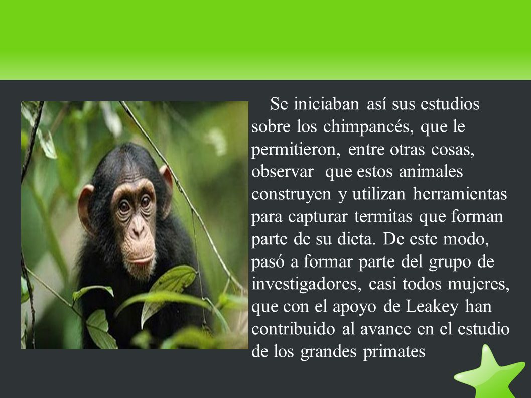 Se iniciaban así sus estudios sobre los chimpancés, que le permitieron, entre otras cosas, observar que estos animales construyen y utilizan herramien