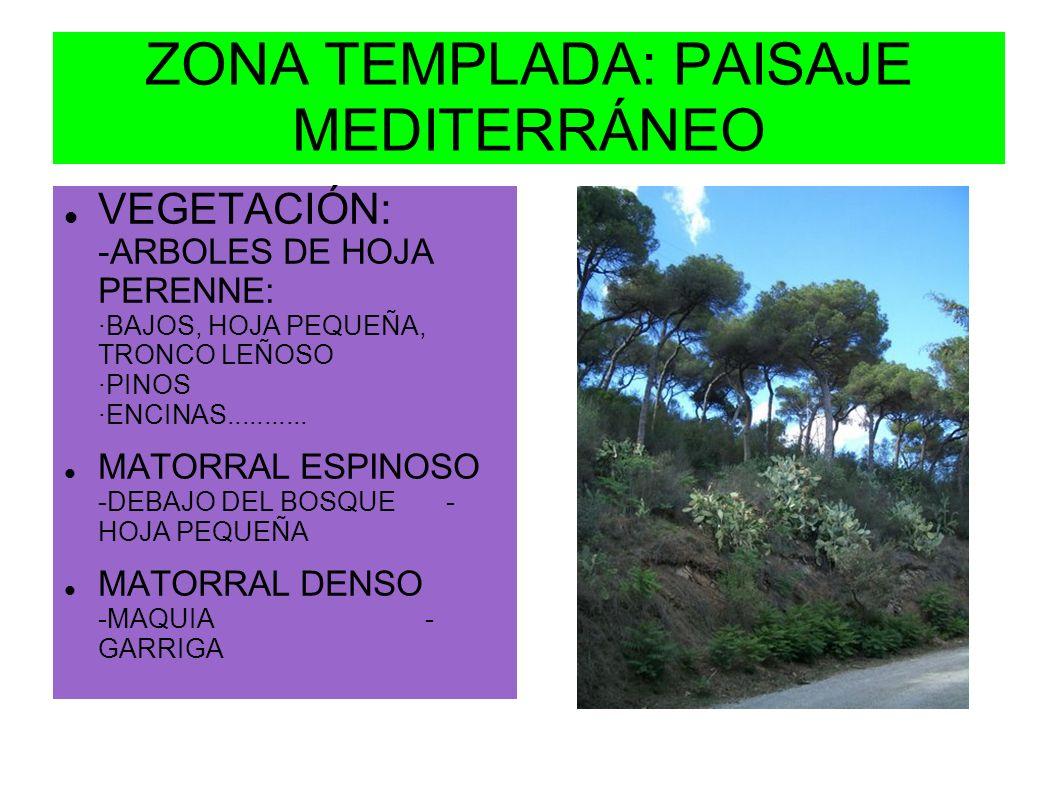 ZONA TEMPLADA: PAISAJE MEDITERRÁNEO VEGETACIÓN: -ARBOLES DE HOJA PERENNE: ·BAJOS, HOJA PEQUEÑA, TRONCO LEÑOSO ·PINOS ·ENCINAS........... MATORRAL ESPI