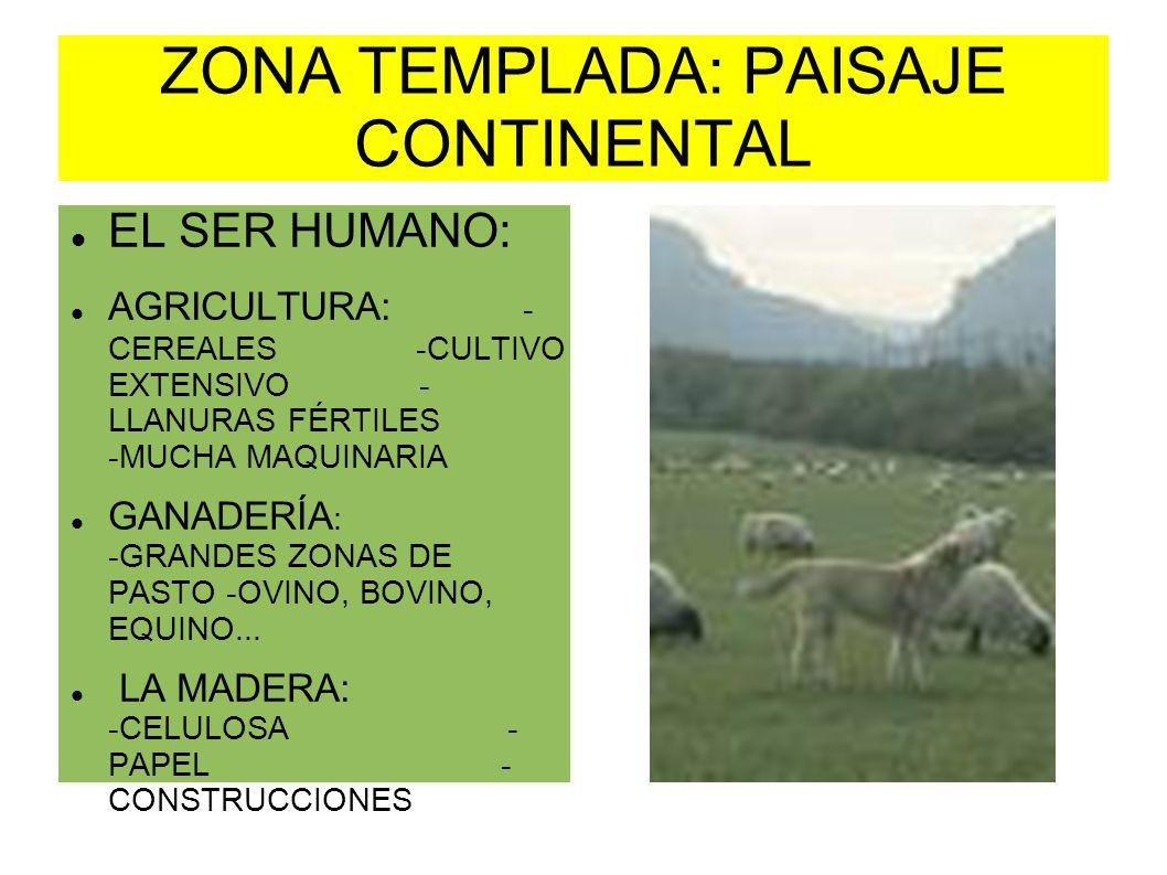 ZONA TEMPLADA: PAISAJE CONTINENTAL EL SER HUMANO: AGRICULTURA: - CEREALES -CULTIVO EXTENSIVO - LLANURAS FÉRTILES -MUCHA MAQUINARIA GANADERÍA : -GRANDE