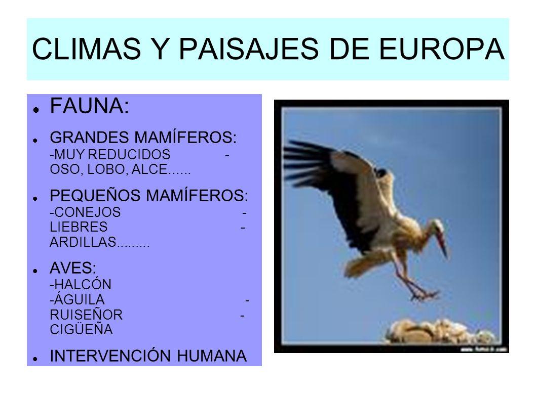 CLIMAS Y PAISAJES DE EUROPA FAUNA: GRANDES MAMÍFEROS: -MUY REDUCIDOS - OSO, LOBO, ALCE...... PEQUEÑOS MAMÍFEROS: -CONEJOS - LIEBRES - ARDILLAS........