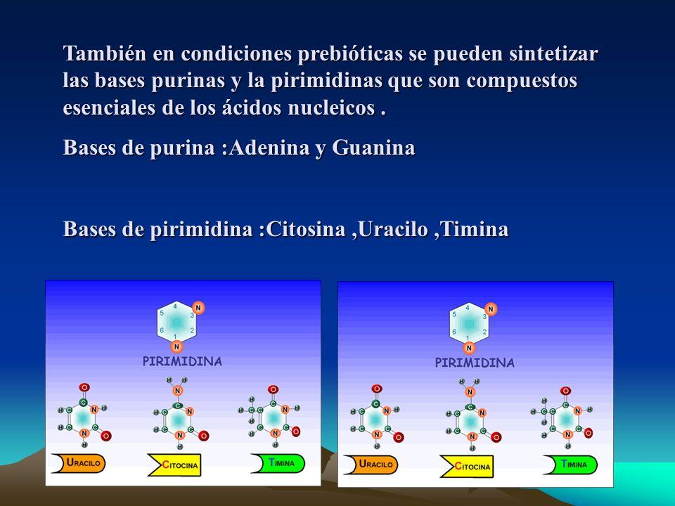 También en condiciones prebióticas se pueden sintetizar las bases purinas y la pirimidinas que son compuestos esenciales de los ácidos nucleicos.