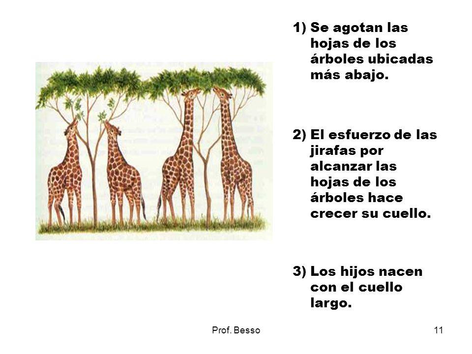 Prof. Besso11 1)Se agotan las hojas de los árboles ubicadas más abajo. 2)El esfuerzo de las jirafas por alcanzar las hojas de los árboles hace crecer