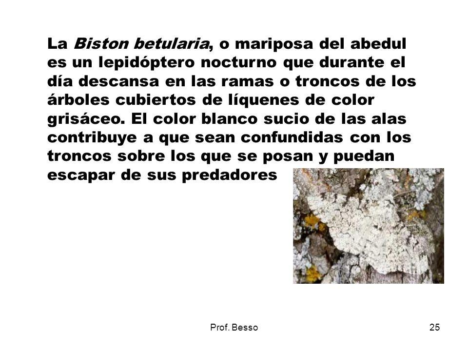 Prof. Besso25 La Biston betularia, o mariposa del abedul es un lepidóptero nocturno que durante el día descansa en las ramas o troncos de los árboles