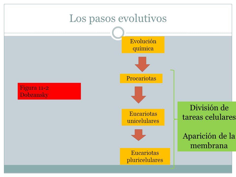 Los pasos evolutivos Procariotas Eucariotas unicelulares Evolución química Eucariotas pluricelulares División de tareas celulares Aparición de la memb