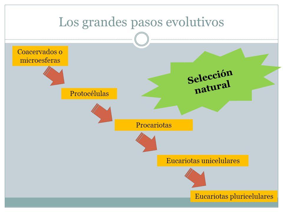 Los grandes pasos evolutivos Procariotas Eucariotas pluricelulares Eucariotas unicelulares Protocélulas Coacervados o microesferas Selección natural