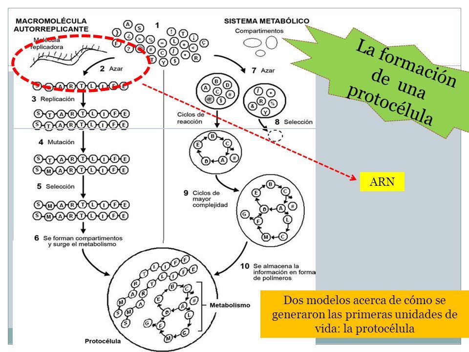 La formación de una protocélula Dos modelos acerca de cómo se generaron las primeras unidades de vida: la protocélula ARN