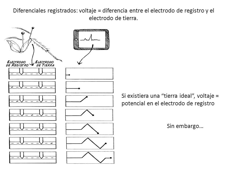 Diferenciales registrados: voltaje = diferencia entre el electrodo de registro y el electrodo de tierra. Si existiera una tierra ideal, voltaje = pote