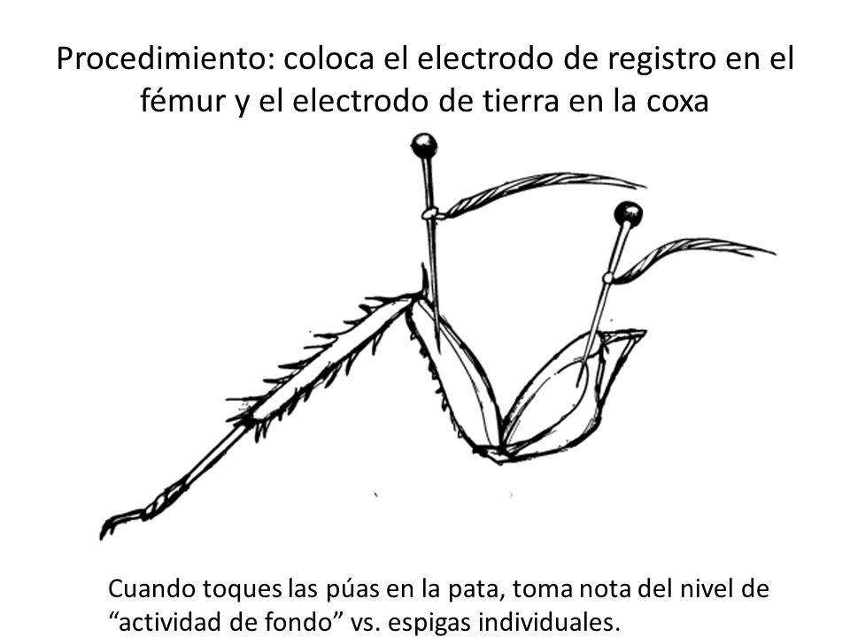 Procedimiento: coloca el electrodo de registro en el fémur y el electrodo de tierra en la coxa Cuando toques las púas en la pata, toma nota del nivel