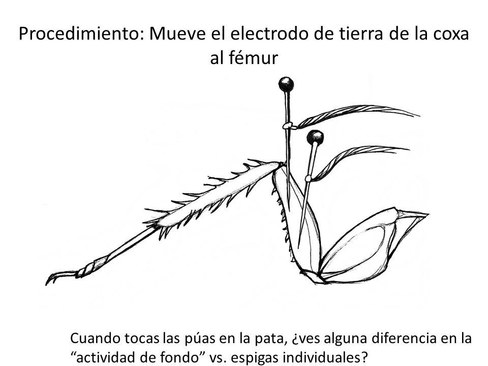 Procedimiento: Mueve el electrodo de tierra de la coxa al fémur Cuando tocas las púas en la pata, ¿ves alguna diferencia en la actividad de fondo vs.