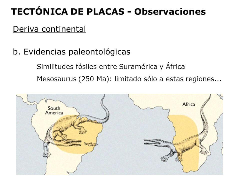 Deriva continental b. Evidencias paleontológicas Similitudes fósiles entre Suramérica y África Mesosaurus (250 Ma): limitado sólo a estas regiones...