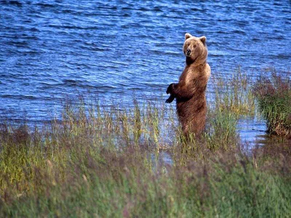 De specialisten schatten het aantal diersoorten in Alaska op 1.000, waarvan 115 soorten zoogdieren en 400 soorten vogels. De emblematische dieren van